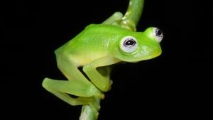 Litoria lubisi, Spesies Katak Baru Ditemukan di Papua