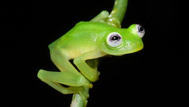 Litoria lubisi, katak jenis baru yang ditemukan di Mimika, Papua. Lokasi penemuan katak ini cukup sulit dijangkau.