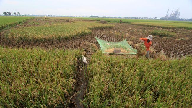 Seorang petani memanen padi di areal sawah desa Majakerta, Balongan, Indramayu, Jawa Barat, Rabu (22/4). Badan Urusan Logistik (Bulog) menargetkan penyerapan beras petani sebesar 2,75 juta ton atau turun dari target semula sebesar  3,2 juta ton akibat Instruksi Presiden (Inpres) Nomor 5 Tahun 2015, tentang Naiknya Harga Pembelian Pemerintah (HPP) beras. ANTARA FOTO/Dedhez Anggara/Rei/pd/15.