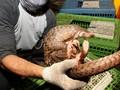 Usai Kelelawar, Trenggiling Diduga Ikut Sebarkan Virus Corona