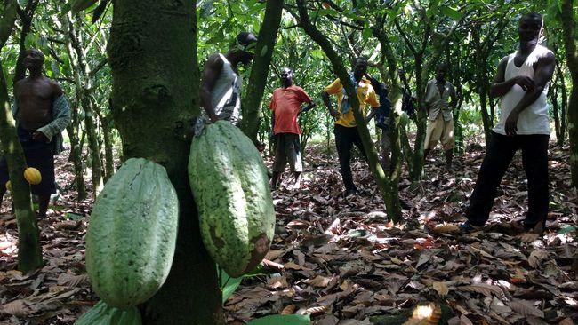 Cerita produksi bahan baku pembuat cokelat atau kakao di Indonesia ternyata tak semanis sepotong cokelat.