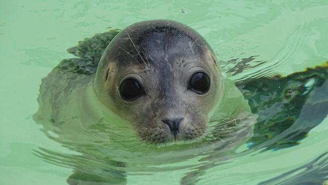 Sebelum makin banyak warga AS yang liburan musim panas ke pantai, pemerintah memberi peringatan agar warga tak berfoto selfie dengan anjing laut. Kenapa?