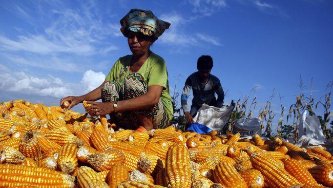 Presiden Jokowi memerintahkan Mendag Lutfi dan Mentan Syahrul untuk menurunkan harga jagung pakan pekan ini menjadi Rp4.500 Kg di Klaten, Blitar, dan Lampung.