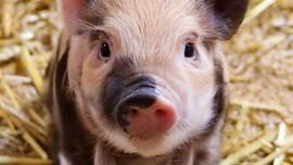 Ahli Minta Indonesia Waspada Flu Babi G4 Berpotensi Pandemi