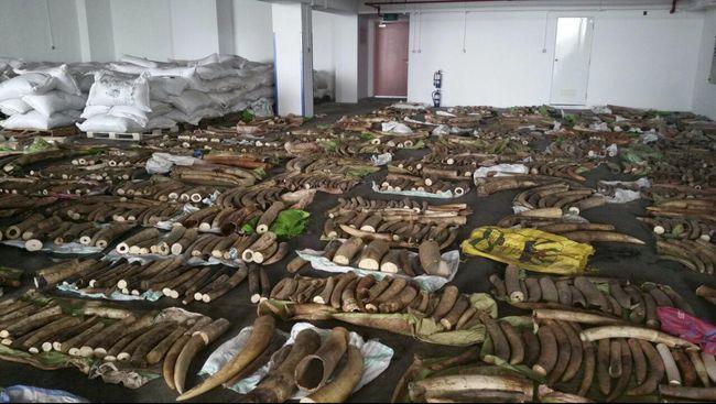 Larangan penjualan domestik gading gajah mulai diberlakukan secara efektif mulai 1 September 2021.
