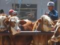 Tugas Pertama Dirut Baru Bulog dari Mendag: Impor Daging Sapi