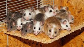 Kebakaran Australia Bunuh Tikus Langka dari Jarak Jauh