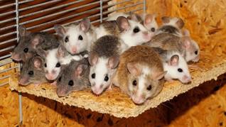 Penyebab Bubonic, Wabah Tua dari Tikus Gemparkan China