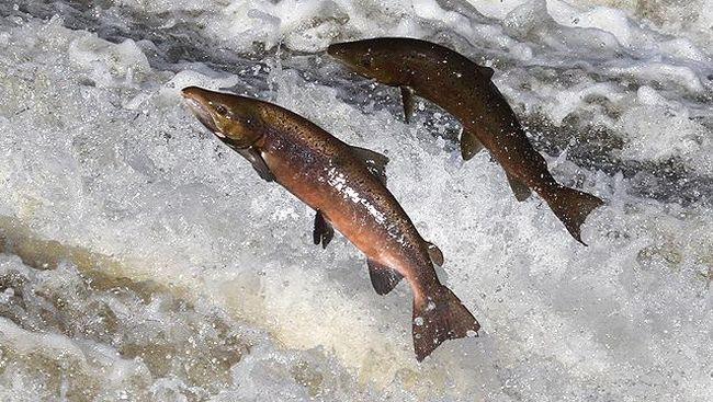 Alaska Memanas, Ratusan Salmon Mati dengan Perut Terburai