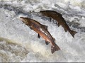 Alaska Tetapkan 10 Agustus Jadi Hari Salmon Liar