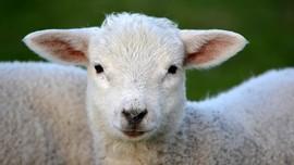 Di Jerman Bisa Peluk Domba untuk Atasi Kesepian