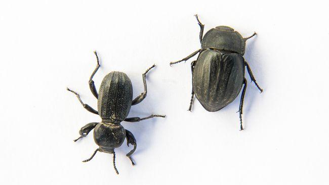 Lembaga Ilmu Pengetahuan Indonesia (LIPI) meneliti empat spesies baru Kumbang Chafer yang ditemukan di Maluku Utara.