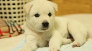 Pasutri Vietnam Racuni Anjing Peliharaan Warga untuk Dijual