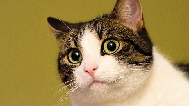 Seekor kucing liar 'nyasar' masuk ke dalam panggung fashion show seorang desainer Turki dan menunjukkan gaya jalannya yang khas.