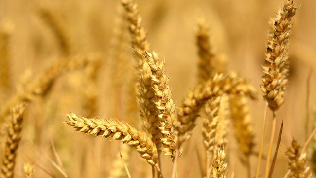Australia meminta WTO untuk menyelidiki tarif hukuman dari China atas impor jelai atau yang terkenal dengan nama barley hingga 80 persen.