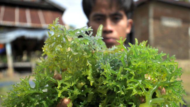Di balik rasanya yang gurih, rumput laut memiliki beragam manfaat kesehatan mulai dari membantu menurunkan berat badan hingga menekan risiko diabetes tipe-2.