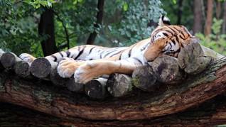 Kisah Nadia, Harimau Pertama yang Jalani Uji Covid-19