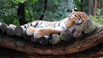 Seekor Harimau di Kebun Binatang AS Positif Terinfeksi Corona