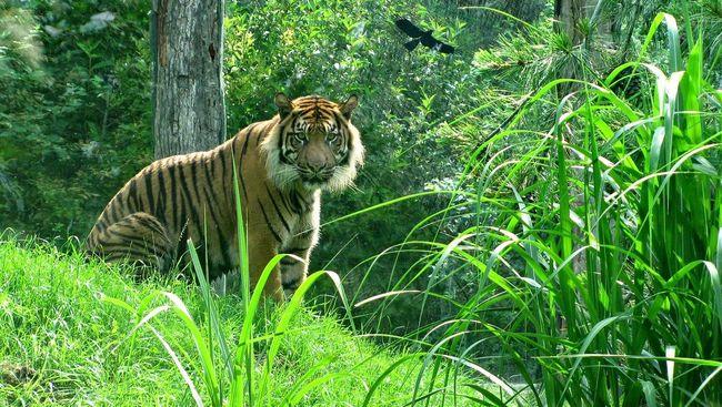 Nepal sebagai salah satu rumah dari 'gerombolan' Harimau Benggala (Panthera tigris tigris) mengalami degradasi terparah.