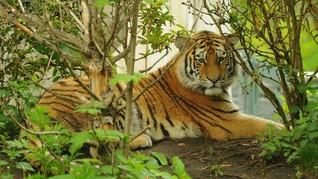 Harimau Kembali Turun Gunung, Hewan Ternak Jadi Korban