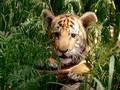 Dua Anak Harimau Putih Mati di Pakistan, Diduga Akibat Covid