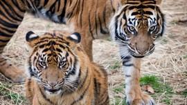 Covid Menyebar ke Kandang-kandang Harimau di India