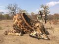 Kecelakaan Tragis Mobil vs Jerapah, Turis di Afrika Tewas