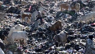 Politikus Hindu: Obat Corona Hanya Ada di Urine Sapi India