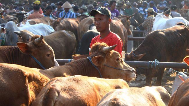 Syaratnya, sapi indukan yang diimpor harus dibuktikan dengan sertifikat kesehatan hewan (health certificate) dan sertifikat asal ternak (certificate of origin).