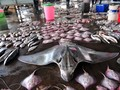 IPB: Ikan Pari Kekeh Terancam Punah, Tetap Diburu Nelayan