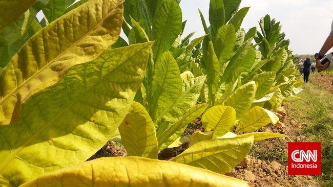 Tengkulak menakuti petani agar mau menjual tembakaunya dengan harga rendah dengan alasan penggunaan tembakau akan berkurang akibat harga rokok mahal.