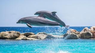 Rusia Disebut Uji Tentara Lumba-lumba dalam Perang Suriah