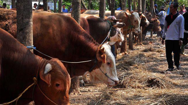 Sejumlah pengunjung melihat sapi yang diikut sertakan pada kontes ternak sapi di Nogosari, Boyolali, Jawa Tengah, Kamis (17/9). Kontes ternak sapi yang diikuti berbagai jenis sapi seperti Limosin, Simental dan Po dari kelompok peternak sapi Boyolali itu digelar dalam rangka untuk memotivasi para peternak sapi untuk meningkatkan produktivitas sapi agar dapat membantu program pemerintan dalam ketahanan pangan daging sapi di Indonesia. ANTARA FOTO/ Aloysius Jarot Nugroho/foc/15.