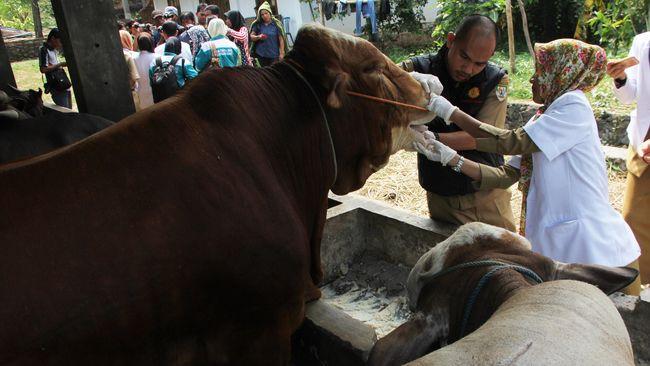 Peternak mengungkap sejumlah alasan produksi sapi domestik minim. Salah satunya, biaya produksi yang tinggi.