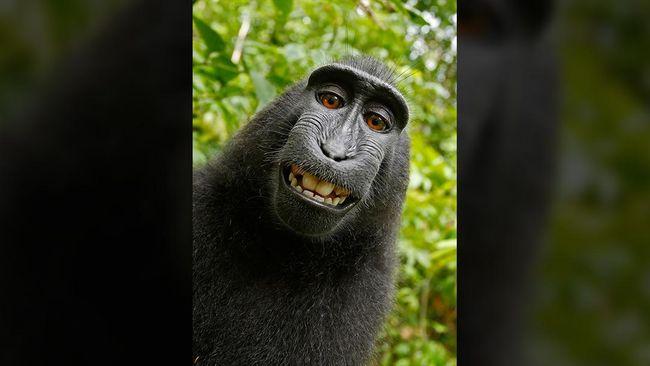 Akhir Damai Rebutan Royalti 'Monyet Selfie'