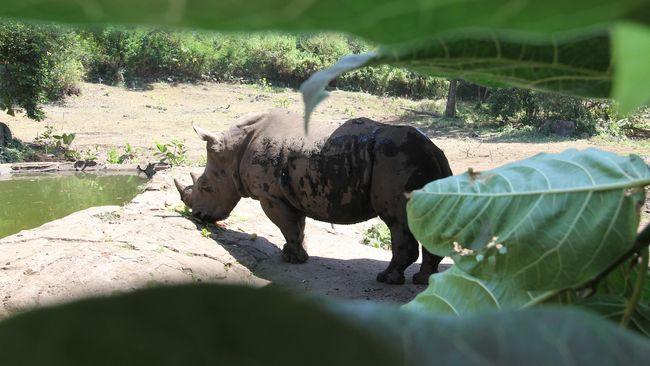 Dua dari lima spesies badak yang sudah kritis dan terancam punah di dunia saat ini hidup di Indonesia yakni Badak Sumatera dan Badak Jawa.