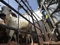 Pemerintah Tambah Kuota Daging Sapi Impor