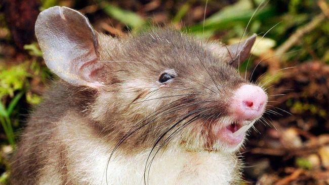Hasil penelitian ilmuwan Jepang menujukkan mamalia bisa bernapas lewat anus dalam percobaan pada tikus dan babi.