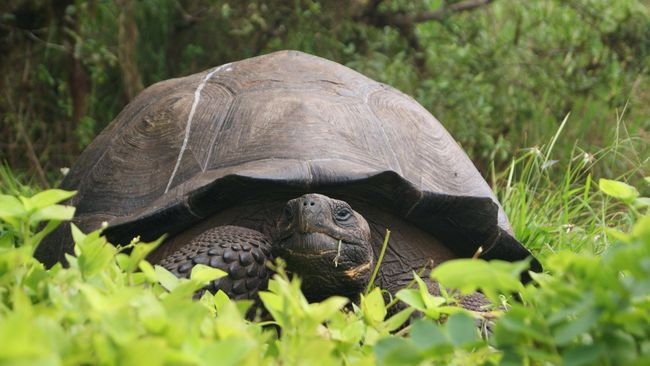 Kura-kura raksasa Galapagos berusia 80 tahun kembali bertelur di Kebun Binatang Zurich, Swiss. Sembilan telur tersebut menetas pekan lalu.