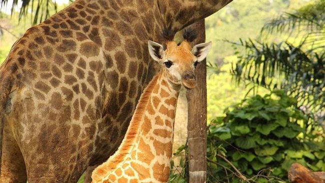 Bayi jerapah itu merupakan yang pertama lahir di Kebun Binatang Singapura, setelah 28 tahun.