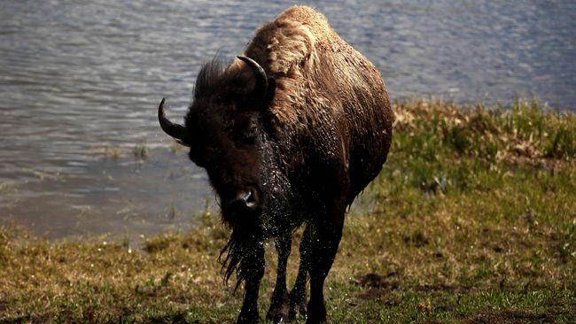 Pengurus Taman Nasional Yellowstone, AS sudah memperingatkan pengunjung yang ingin melihat bison harus menjaga jarak hingga 10 meter.