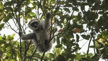 Dipasok Komunitas FB, Pedagang Burung Bekasi Jual Owa Jawa