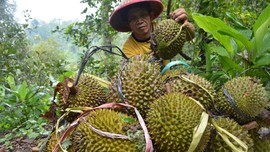 Kulit Durian dan Nangka Bakal Bisa Dipakai Buat Cas Ponsel