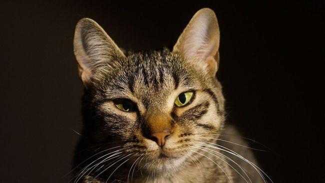 Seekor kucing di Sri Lanka ditangkap karena diperalat untuk menyelundupkan narkoba ke penjara, tetapi kemudian berhasil kabur.
