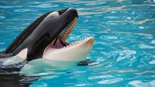 Ahli Respons Paus Pembunuh Orca yang Berebut Dipeluk Warga RI