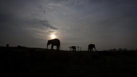 Menyambangi Rumah Sakit Gajah Pertama di Asia
