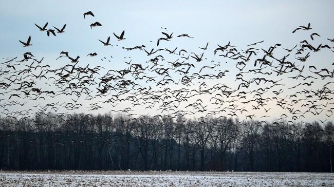 Hasil Uji Lab Ungkap Burung Pipit Cirebon Negatif Influenza
