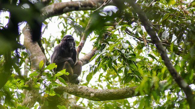 Keberadaan tujuh jenis monyet endemik yang hanya ada di Sulawesi atau kawasan Wallace terancam punah karena ada proses hibrid atau perkawinan silang.