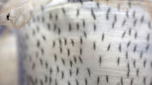 Penelitian terbaru menemukan bahwa jamur ampuh membantu membasmi nyamuk.
