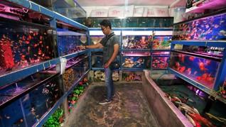 Luhut Bakal Pangkas Aturan Perdagangan Ikan Hias